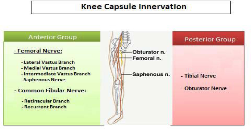 Figure 1: Innervation of the knee capsule.